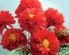 8X10-MICHAELS-RED-ZINNIAS.jpg